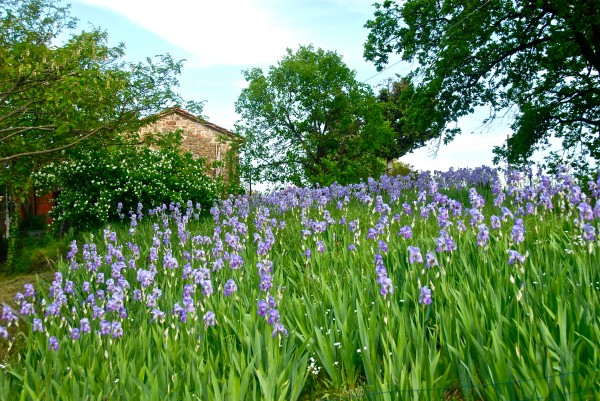 Does the iris root hold the secret of youth? Poggio Pratelli in spring