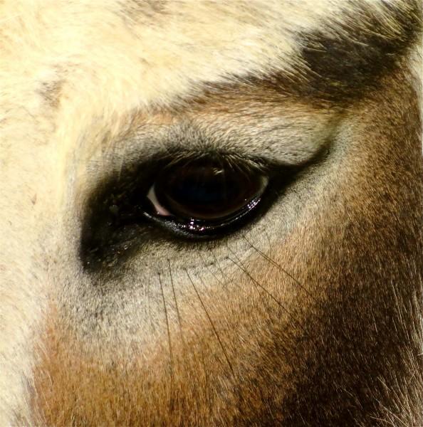 donkey eyes at the figline autumn  festival